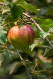 Apple on the Tree. Close up of a red and green apple on the tree lit with golden light. The organic apples has blemishes Royalty Free Stock Photos
