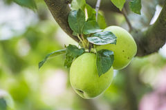 Apple at a tree Stock Photos