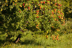 Apple tree closeup Royalty Free Stock Photo