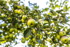Apple tree closeup Stock Images