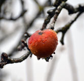 Apple on the tree covered by ice Stock Photo