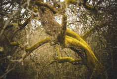 Apple tree covered in moss stock photos