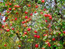 Apple tree. A crab apple tree on a farm in New York State Royalty Free Stock Photos