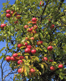 Apple tree detail. Detail of an apples tree full of red fruits Stock Image