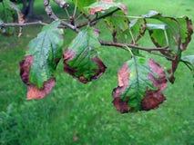 Apple tree disease 2 Stock Images