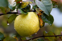 Apple on the tree with drops Royalty Free Stock Photo