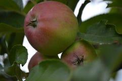 Apple Tree. In Elblag Poland on a small farm Stock Photo