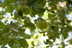 Apple on tree. Everything is green Royalty Free Stock Image