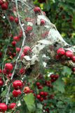 Apple tree in the Fall with Caterpillar Nest Stock Photos