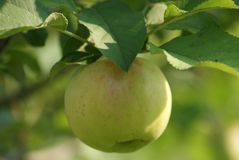 Apple Tree in Fall Royalty Free Stock Photo