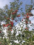 Apple tree. Fall season for apple picking royalty free stock photo