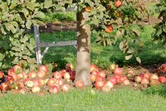 Apple Tree and Fallen Apples Royalty Free Stock Images