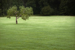 Apple tree in field Stock Photography