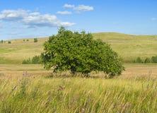 Apple tree on field Royalty Free Stock Photo
