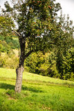 Apple-tree in the field Royalty Free Stock Image