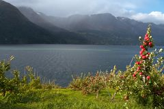 Apple-tree on a fjord coast Royalty Free Stock Photos