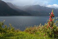 Apple-tree on a fjord coast Royalty Free Stock Photos