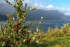 Apple-tree on a fjord coast Stock Photos