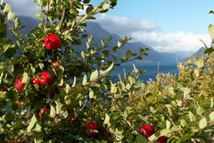 Apple-tree on a fjord coast Stock Photography