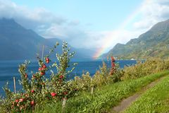 Apple-tree on a fjord coast Royalty Free Stock Images