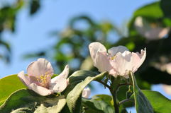 Apple-tree flower Royalty Free Stock Photo