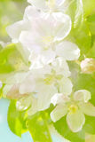 Apple tree flower. Background with apple tree flower royalty free stock photo