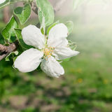 Apple tree flower Royalty Free Stock Photo