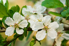 Apple-tree flower 5. Malus, agriculture, apple, apple-tree, blooming, blossom, rural economy, spring, sun, tenderness royalty free stock photos