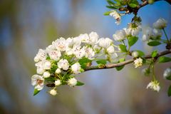 Apple tree flower. Blossoming at spring time, floral background royalty free stock photos