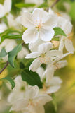 Apple tree flower Royalty Free Stock Photos