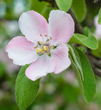 Apple tree flower blossom Royalty Free Stock Images