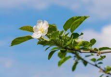 Apple tree flower blossom. Macro of apple tree flower blossom Royalty Free Stock Photos