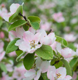 Apple tree flower blossom. Macro of apple tree flower blossom Stock Photos