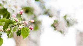 Apple tree flower blossom macro view. Blossoming pink petals fruit tree branch, tender blurred bokeh background. Shallow Royalty Free Stock Images