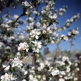 Apple tree flower blossoming at spring time Stock Photo