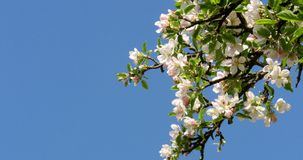 Apple Tree Flower Bright White Illuminated By A Bright Ray Of The Spring Sun stock footage