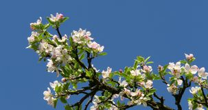 Apple Tree Flower Bright White Illuminated By A Bright Ray Of The Spring Sun stock video footage