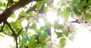 Apple Tree Flower Bright White Illuminated By A Bright Ray Of The Spring Sun 4k stock footage
