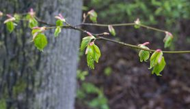 First hatching birch leaves after the rain stock image