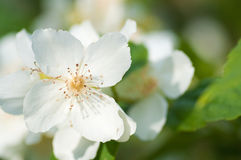 Apple tree flower detail Royalty Free Stock Photography
