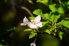 Apple tree flower. Flowering apple tree, flowering in spring on sun royalty free stock photo