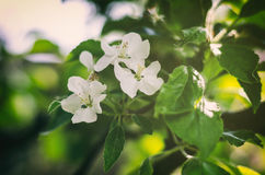 Apple tree flower. Flowering apple tree, flowering in spring on sun Royalty Free Stock Photography