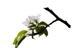 Apple-tree flower. S isolated on a white background Stock Photography