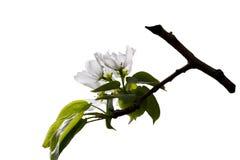Apple-tree flower Stock Photography