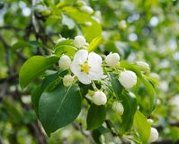 Apple tree flower Royalty Free Stock Photography