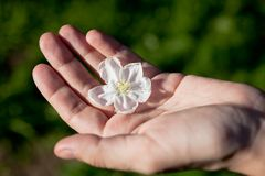 Apple-tree flower on human palm Stock Photos