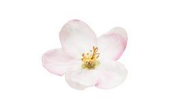 Apple tree flower isolated. On white background stock photo