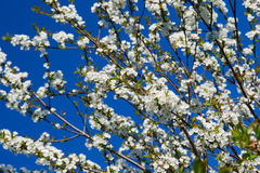Apple Tree in Flower. New apple tree in flower royalty free stock photography