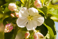 Apple-tree flower Stock Photography