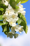 Apple-tree flower and sky. Apple-tree flower on background of blue sky in a spring day. Background for celebratory card Royalty Free Stock Photos